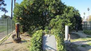 California City Battles To Save Historic Orange Tree