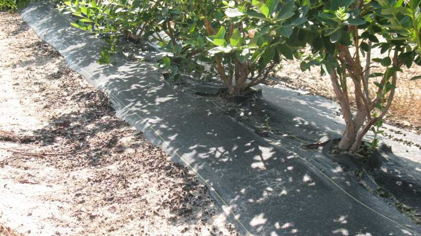 Advantages to Growing Southern Highbush Blueberries