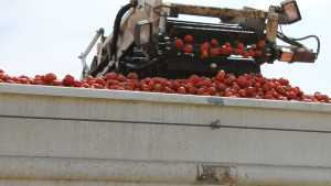 Processing Tomatoes Are The Number One Crop For Top 100 Grower Terranova Ranch