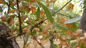 How To Control Almond Leaf Scorch
