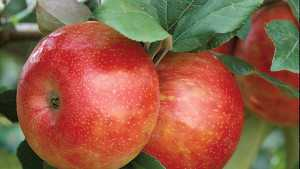 Harvest Expected To Be A Week Late For Michigan Apples