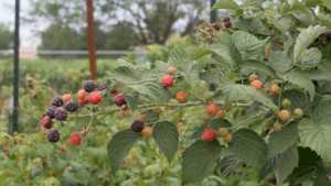 If You Could Plant Any Type Of Fruit, Consider A Caneberry [Opinion]
