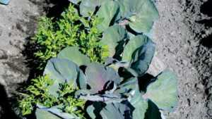 Improving Weed Management In Cole Crops