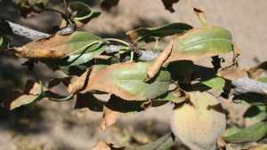 Researchers Study Almond Rootstock Salt Tolerance