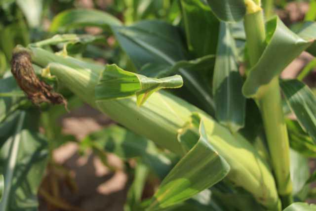 Rapid Cooling Equals Longer Shelf Life For Fresh Market Sweet Corn