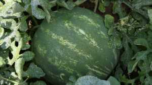 Bayer CropScience Vegetable Seeds, National Watermelon Association Partner To Help Growers