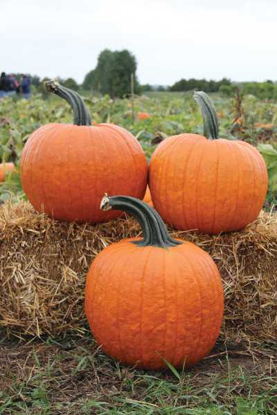 This extra-large pumpkin with excellent yields is a must have for every patch. Growing on an exceptionally vigorous vine, this variety has a dark-orange color with well-defined ribs and a large, dark-green, firmly attached handle.  Sizes range from a hearty 25 pounds to a monstrous 60 pounds.