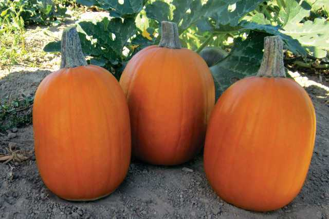 Darling, a unique and growing favorite among many, is an early variety, maturing in  approximately 90 days. It is a small-sized, tall pie pumpkin, weighing no more than 6 to 8 pounds. This variety produces uniform size fruits, has a restricted vine, and has intermediate resistance to powdery mildew.
