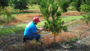 Scientists On A Mission To Build The Perfect Citrus Tree