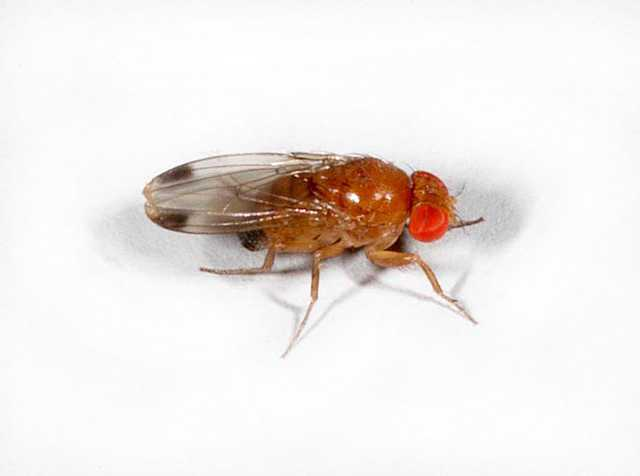 Michigan State University Awarded Grant to Tackle Spotted Wing Drosophila