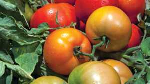 Tomato Varieties For 2014