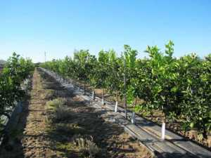 Duarte Nursery In California Has Produced Roughly 900 000 Citrus Trees On Tissue Culture Rootstocks With Few