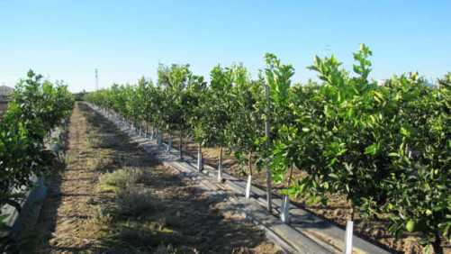 #CitrusMatters Campaign Aims To Raise Awareness Of HLB In California