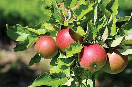 Michigan Apple Committee Welcomes New Account Manager