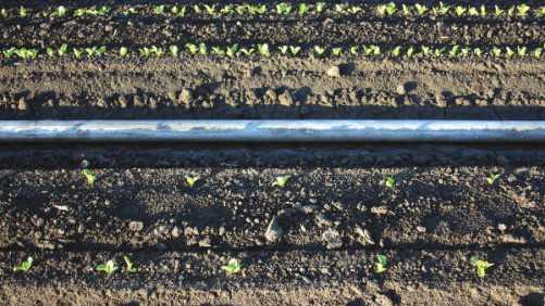 Planting And Thinning Recommendations For Lettuce