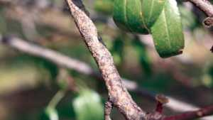 An Unconventional Find: Walnut Scale In Almonds