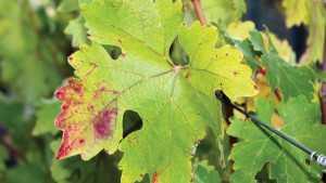 Forum On Red Leaf Viruses Scheduled