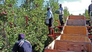 Timely Tasks To Do During Down Times Of Apple Harvest