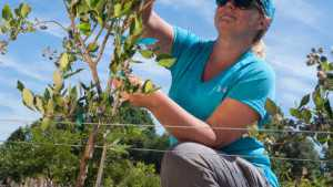 New Blueberry Growing System Could Help Improve Efficiency