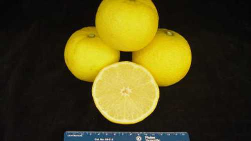 6 New Citrus Cultivars Approved For Release