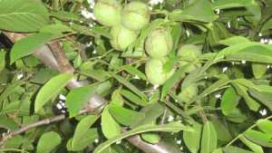 Annual Walnut Pruning Unnecessary During Development Phase
