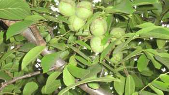 Walnuts on Tree
