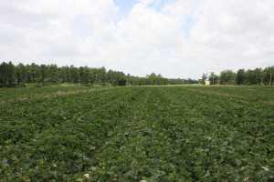 field cantaloupe