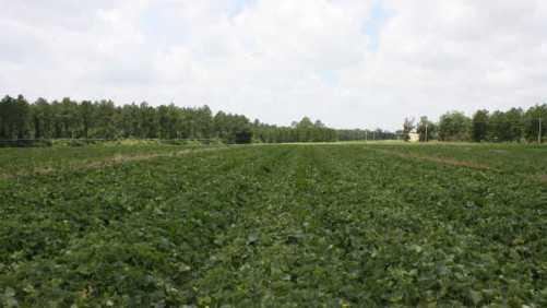 Orange-Fleshed Melon Ripe For Beta-Carotene Analysis