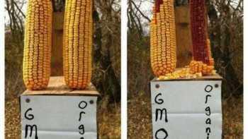 anti-GMO social media rant image comparing ears of corn