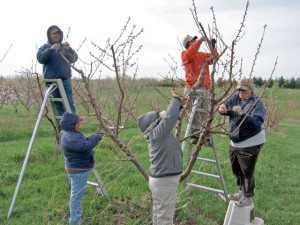 A farm crew at the Southwest Research and Extension Center in Benton Harbor, MI, preps for making peach crosses (Photo credit: Bill Shane).
