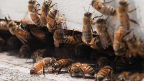 Ensure Your Berry Production Success With Pollinators