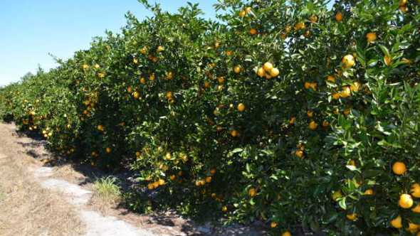 Florida citrus grove