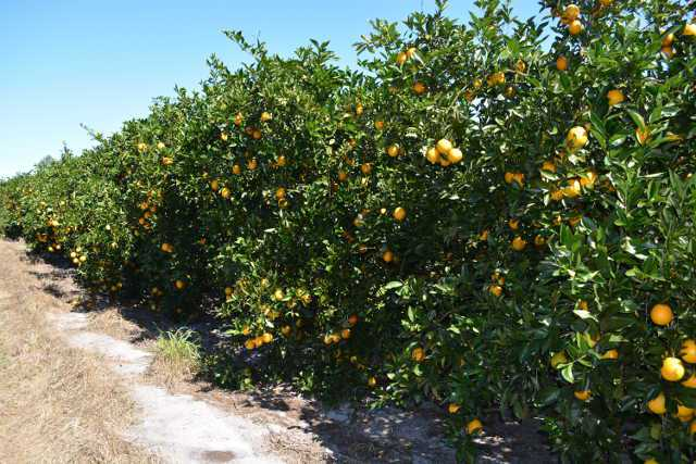 Florida Citrus Crop Estimate Takes Another Hit