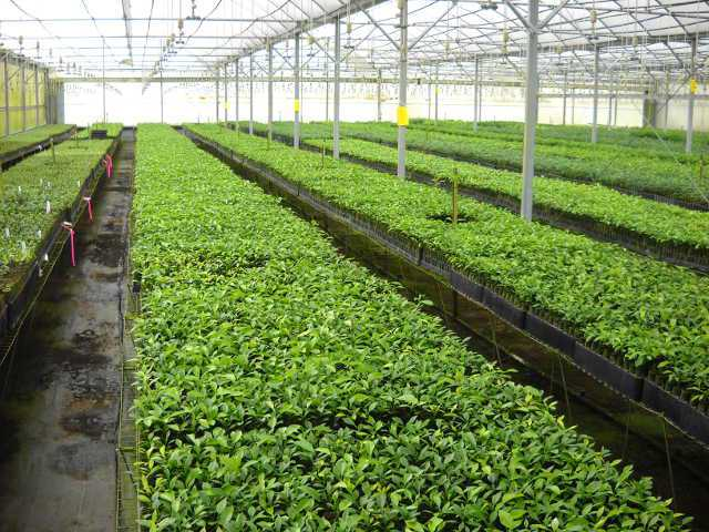 High Pressure Building In Need For Citrus Trees