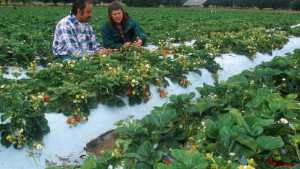 California Strawberry Production Shows Positive Impact On Local Communities