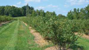 8 Ways To Improve Internal Drainage In Blueberries