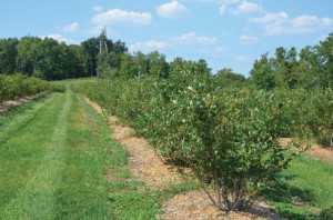 To improve your soil drainage grow your blueberry bushes in raised beds. (Photo Credit: Gary Gao)