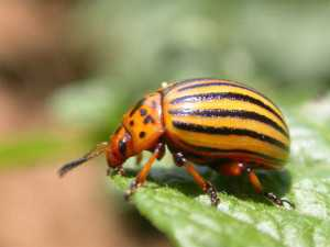 Colorado potato beetle pressure is often determined by location and can vary widely.  Photo credit: Tom Kuhar, Virginia Tech