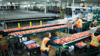 Workers pack Royal Gala apples at BC Tree Fruits Cooperative packing line in Windfield, B.C. The packinghouse averages 43-45 bins per hour. (Photo credit: Christina Herrick)