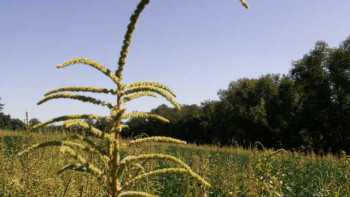 If Palmer amaranth is present in your field, do not remove the weed plants. Instead, destroy the weeds by burying or burning near the infested field. Photo credit: Dwight Lingenfelter, Penn State University
