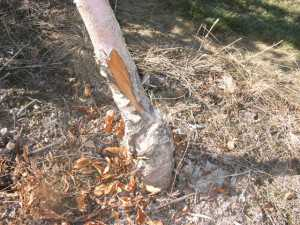 This young tree trunk was damaged by cold weather. (Photo credit: Tim Smith, Washington State University)