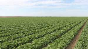 New Fungicide For Lettuce And Strawberry Growers