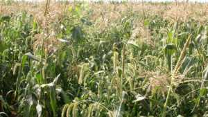 Sweet Corn Growers Must Be Wary Of Annual Grasses, Resistant Species, And Emerging New Weeds