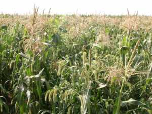 Sweet corn growers need to be wary of annual grasses as these weeds can be very competitive with the crop.  Photo credit: Dwight Lingenfelter, Penn State University