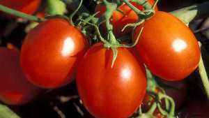 Genetic Toolkit To Increase Tomato Yields