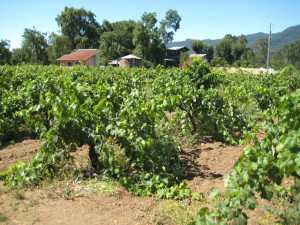 These dry-farmed vines at Bucklin Old Hill Ranch were planted in 1885 and are located in Sonoma, CA. This photo was taken in July 2010. (Photo credit: Community Alliance for Family Farmers)