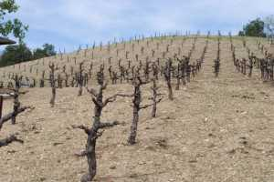 Dave Osgood's dry-farmed and head-trained vineyard in Paso Robles, CA, taken this March. Usually, there would be a cover crop growing, but with the drought this year, Osgood has bare soils. (Photo credit: Community Alliance for Family Farmers)