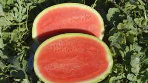 Seminis Showcases Four Vegetable Varieties