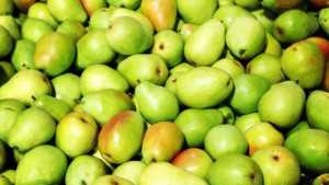 Canneries Hope To Encourage Growers To Grow Pears For Processing