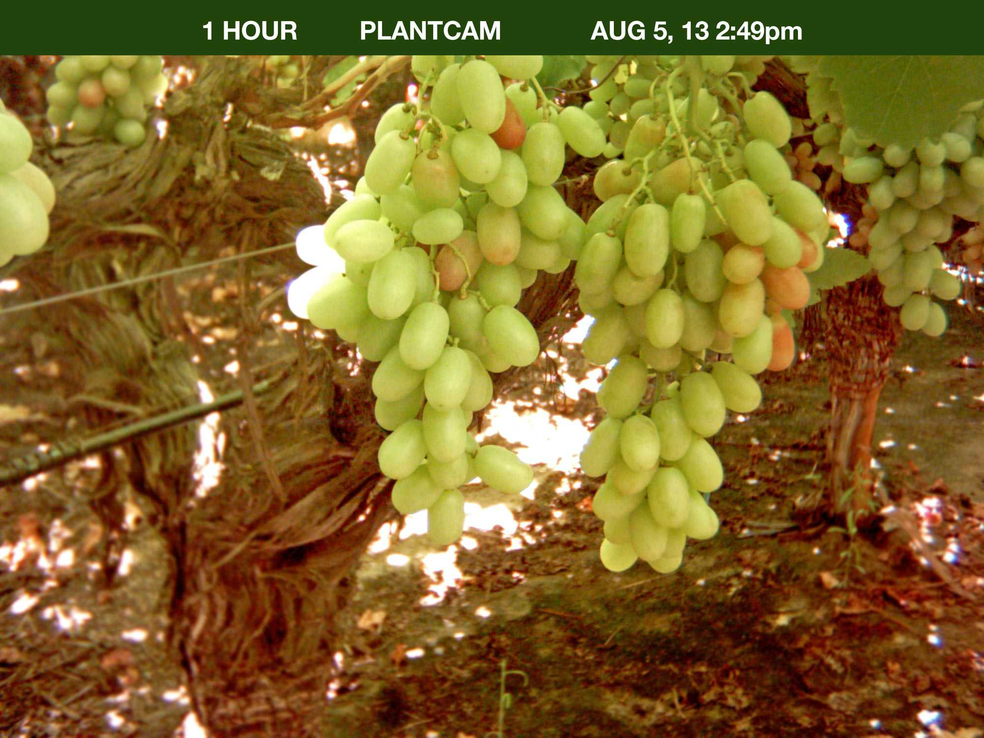 Note the color change that drastically occurs in a 15-day span in this photo series. The cluster on the left was not sprayed with ProTone, whereas the cluster on the right was treated with ProTone.